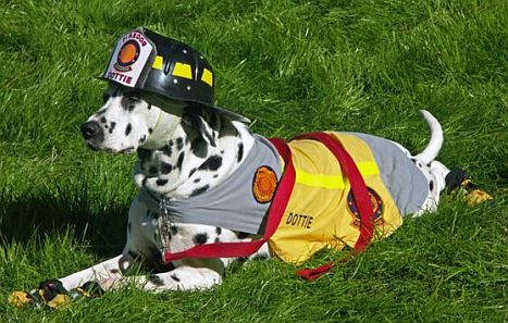 Why Do Firefighters Use Dalmatians