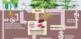 Why Do Plants Absorb Nitrogen through Their Roots