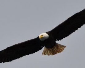 Why do Eagles Fly Alone
